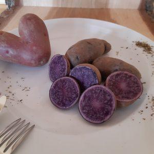 Kartoffel Blaue St. Galler